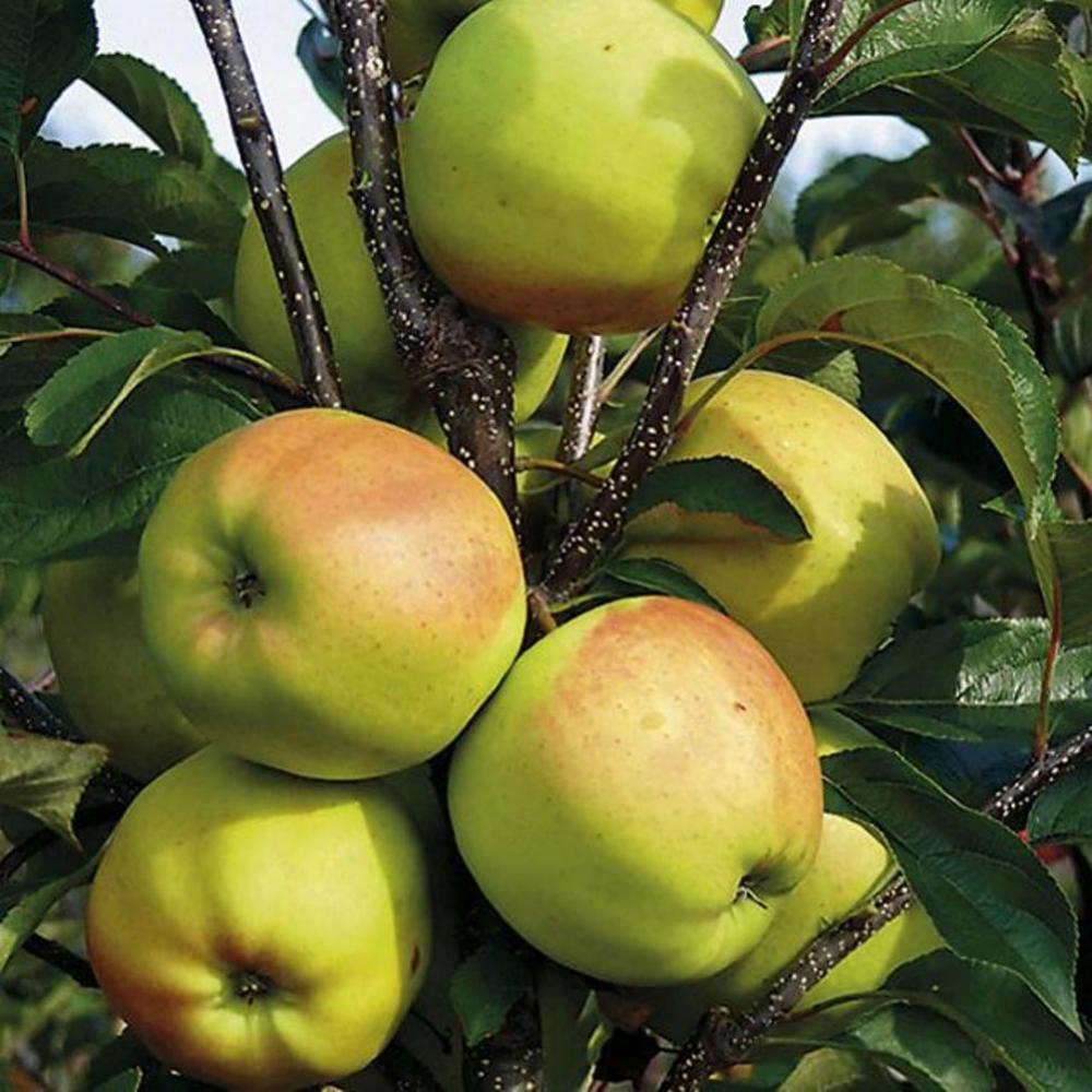 яблоня голден делишес описание фото