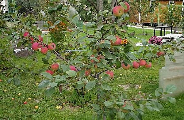 сорт яблони конфетное фото и описание сорта