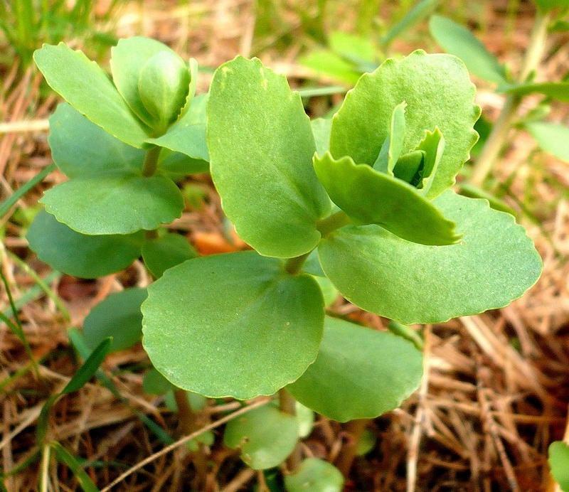 растение заячья капуста