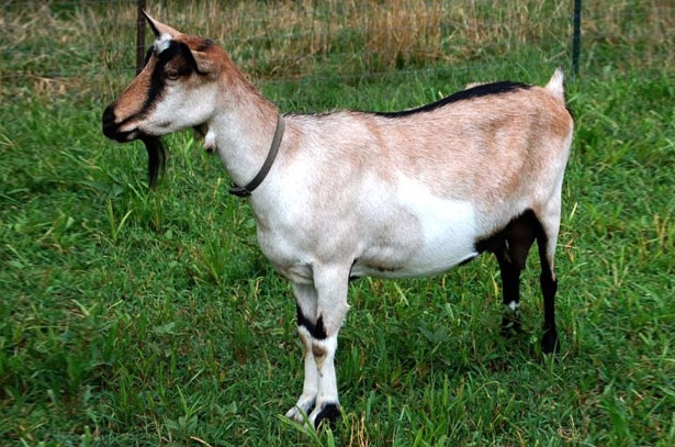 альпийские козы описание породы фото