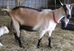 породы Альпийских коз