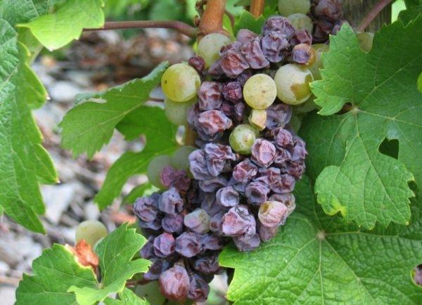 борьба с болезнями винограда