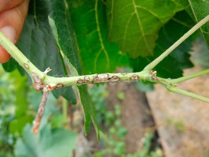 болезни винограда фото и чем лечить