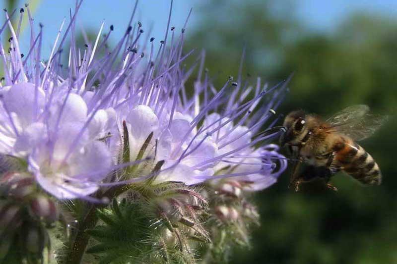 фацелиевый мед