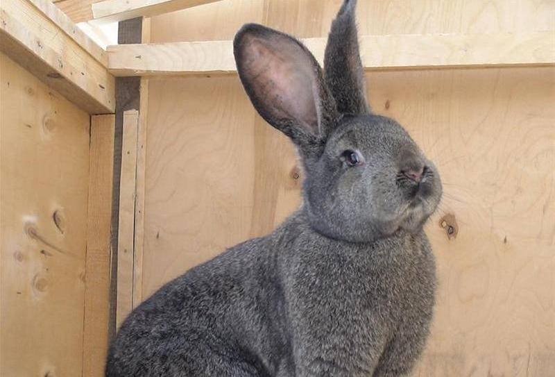 бельгийский великан кролик фото
