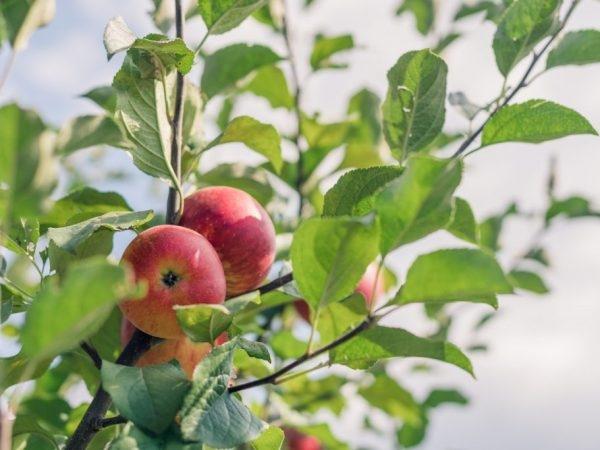 лобо яблоня описание
