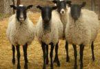 Романовские породы овец