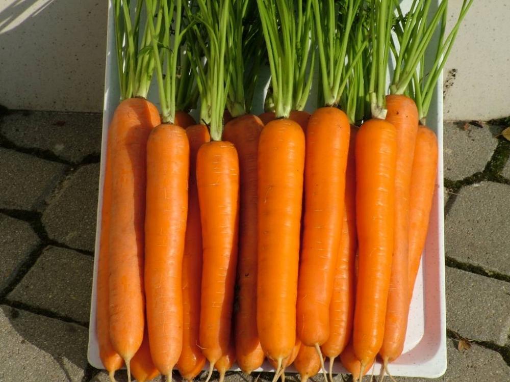 лучшие сорта моркови для средней полосы россии