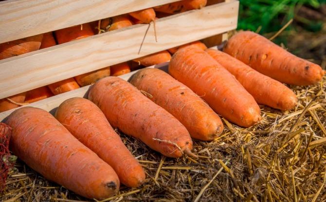 ранние сорта моркови