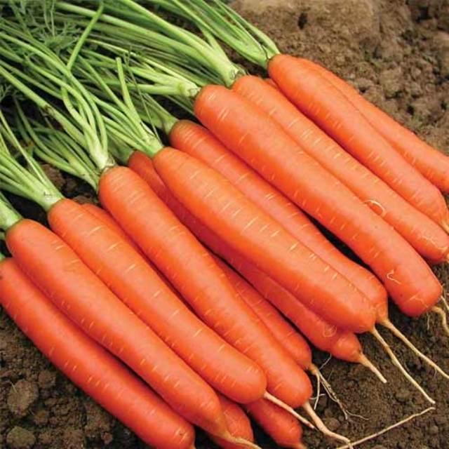 морковь тушон описание сорта