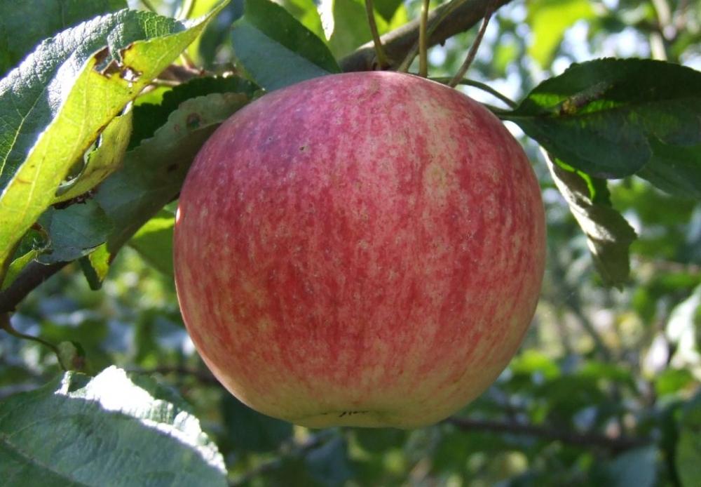 штрифель сорт яблок описание фото