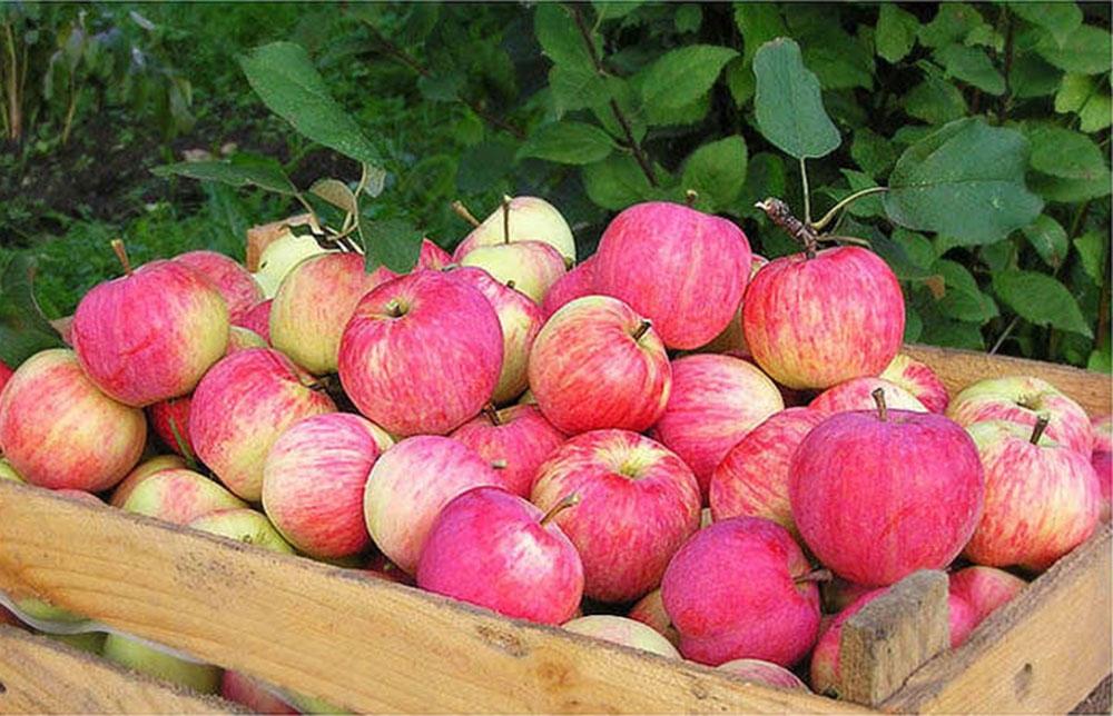штрейфлинг яблоня описание