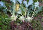 виды капусты Кольраби