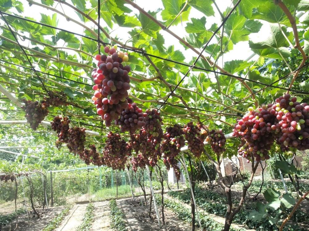 виноград лидия описание сорта фото