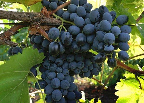 обрезка винограда молдова осенью