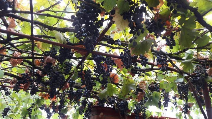 виноград молдова обрезка и нагрузка